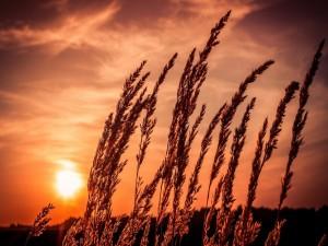 Últimos rayos de sol sobre las espigas
