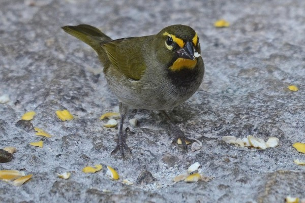 Pájaro comiendo sobre la roca