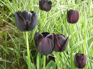 Postal: Tulipanes de la variedad: Queen of night
