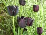 Tulipanes de la variedad: Queen of night
