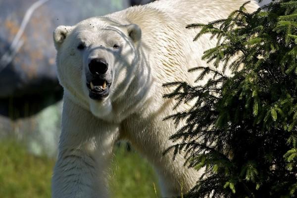 Un oso polar algo enfadado