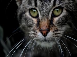 Mirada de un bonito gato