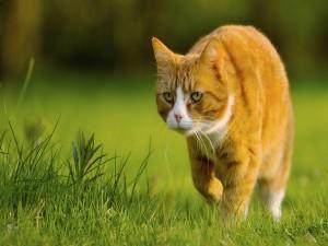 Un gran gato caminando por el césped