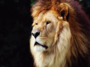 Cara de un gran león