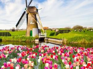 Bellos tulipanes cerca de un molino