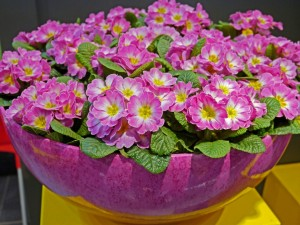 Primulas color rosa en un cuenco
