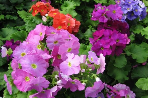 Hermosas petunias