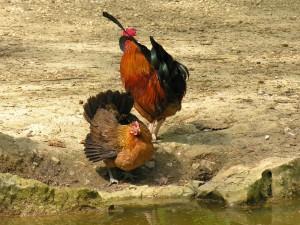 Postal: Un gallo y una gallina