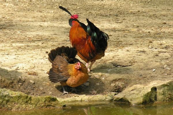 Un gallo y una gallina