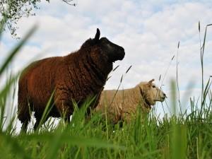 Postal: Oveja blanca y oveja negra