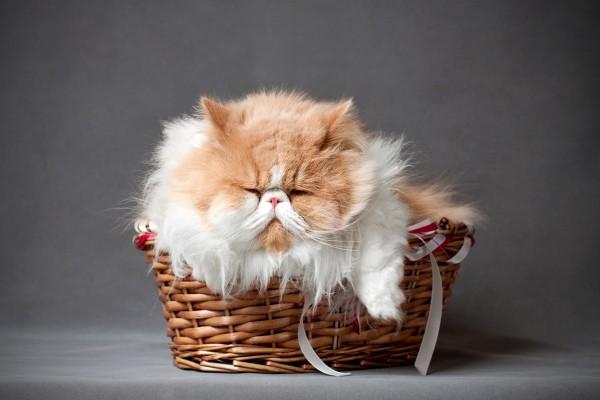 Un gato dormido en la cesta