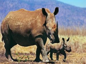 Postal: Rinoceronte con su cría