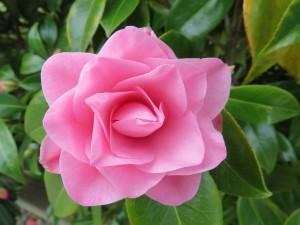 Postal: Preciosa flor de color rosa
