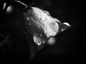 Postal: Flor en blanco y negro con gotas de agua