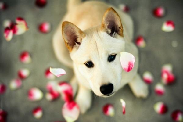 Lluvia de pétalos sobre un perro