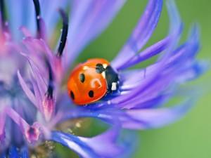Mariquita sobre los pétalos de una flor morada