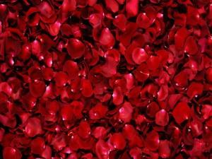 Gran cantidad de pétalos rojos de rosas