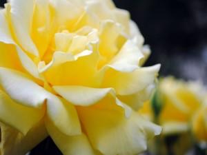 Postal: Delicados pétalos de una rosa amarilla