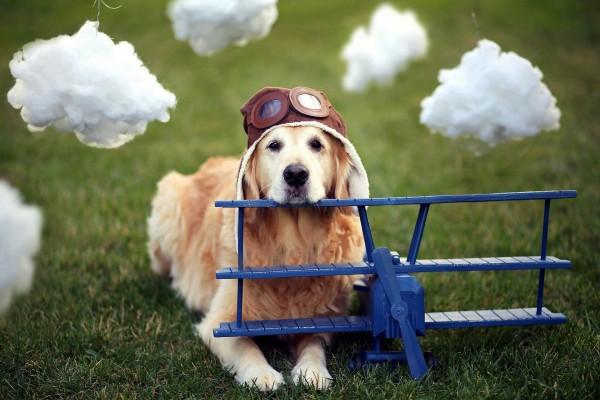 Un perro aviador