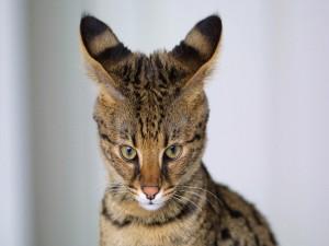 Postal: Las orejas del gato