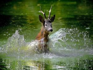 Postal: Un ciervo en el agua