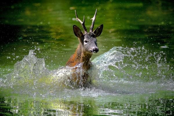 Un ciervo en el agua