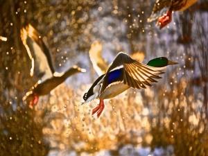 Patos volando y brillantes gotas de agua