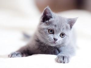 Postal: Gato gris con una tierna mirada