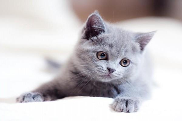 Gato gris con una tierna mirada