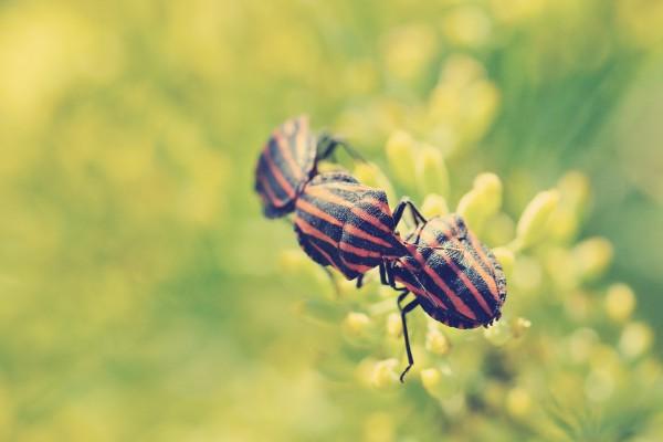 Tres escarabajos en fila