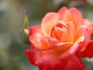 Rosa naranja en todo su esplendor