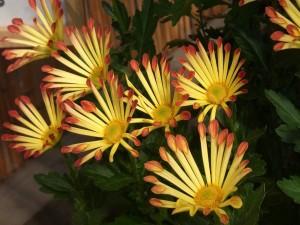 Postal: Planta con crisantemos