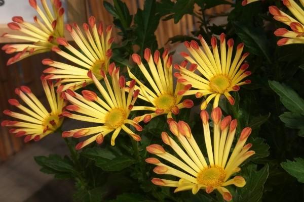 Planta con crisantemos
