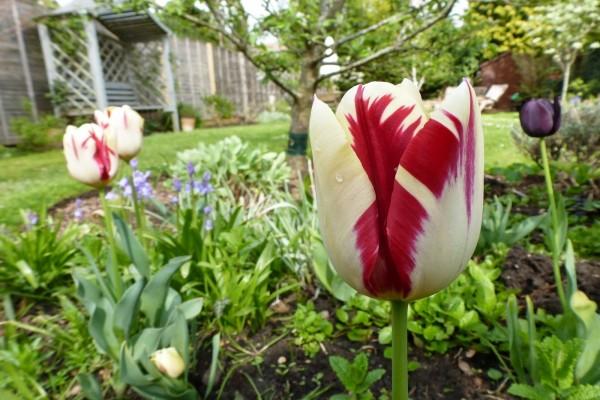 Tulipán con dos colores