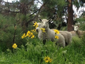 Ovejas junto a las flores amarillas