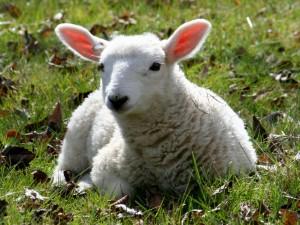 Postal: Una oveja tumbada en la hierba