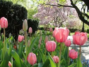 Postal: Tulipanes de color rosa en el parque