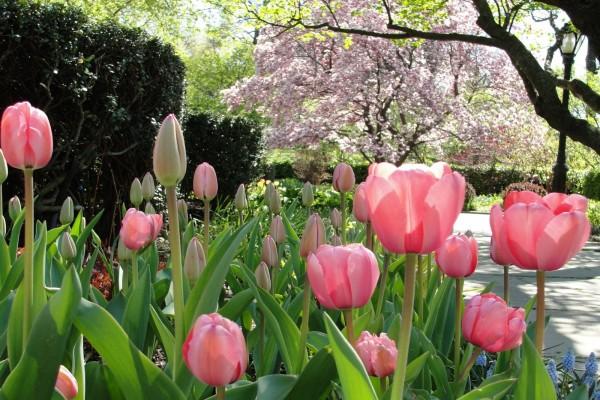Tulipanes de color rosa en el parque