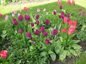 Tulipanes creciendo en el jardín