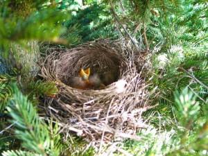 Aves en el nido