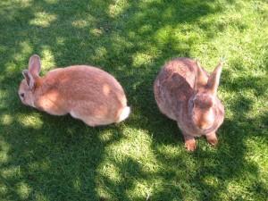 Grandes conejos en la hierba