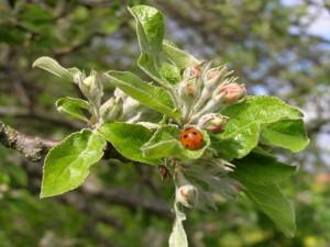 Una mariquita en las hojas