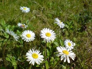 Postal: Preciosas margaritas blancas en el campo