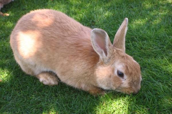 Un gran conejo en el césped
