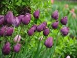 Tulipanes de un bonito color morado