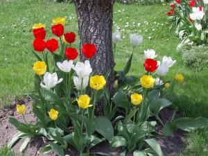 Tulipanes de colores rodeando el árbol
