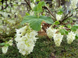 Grupos de flores blancas en las ramas del árbol