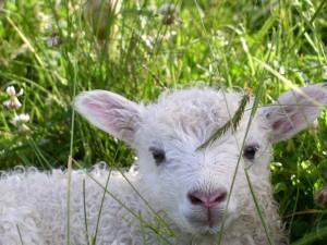 Cordero blanco en la hierba