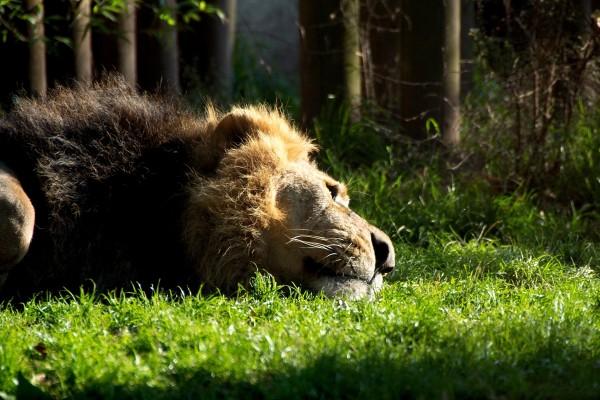 Un león tumbado en la hierba