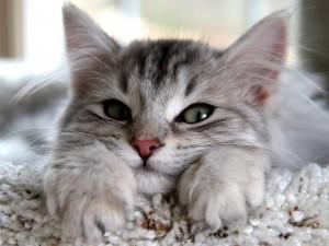 Postal: Gato mostrando las patas delanteras